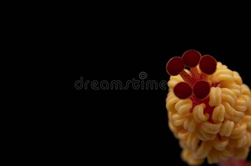 Hibiscus-Staubgef?? lizenzfreie stockfotografie