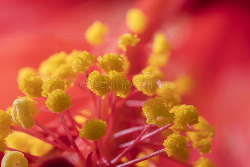 Hibiscus stigma e antere con polline fotografia stock libera da diritti