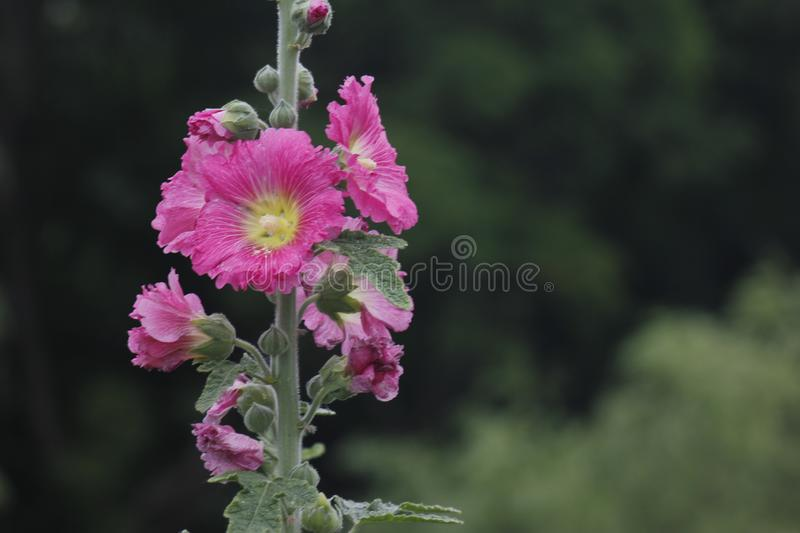 Hibiscus syriacus flowers blossoming activity in the dreary day stock photography