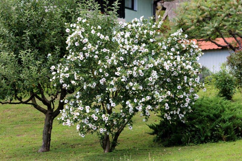 Hibiscus syriacus Red Heart kwitnąca roślina rosnąca jako małe drzewo dekoracyjne wypełnione otwartymi białymi kwiatami z czerwon fotografia royalty free
