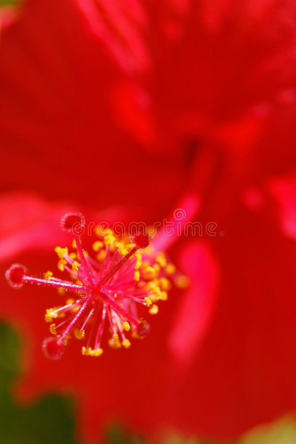 Hibiscus tropical imagem de stock