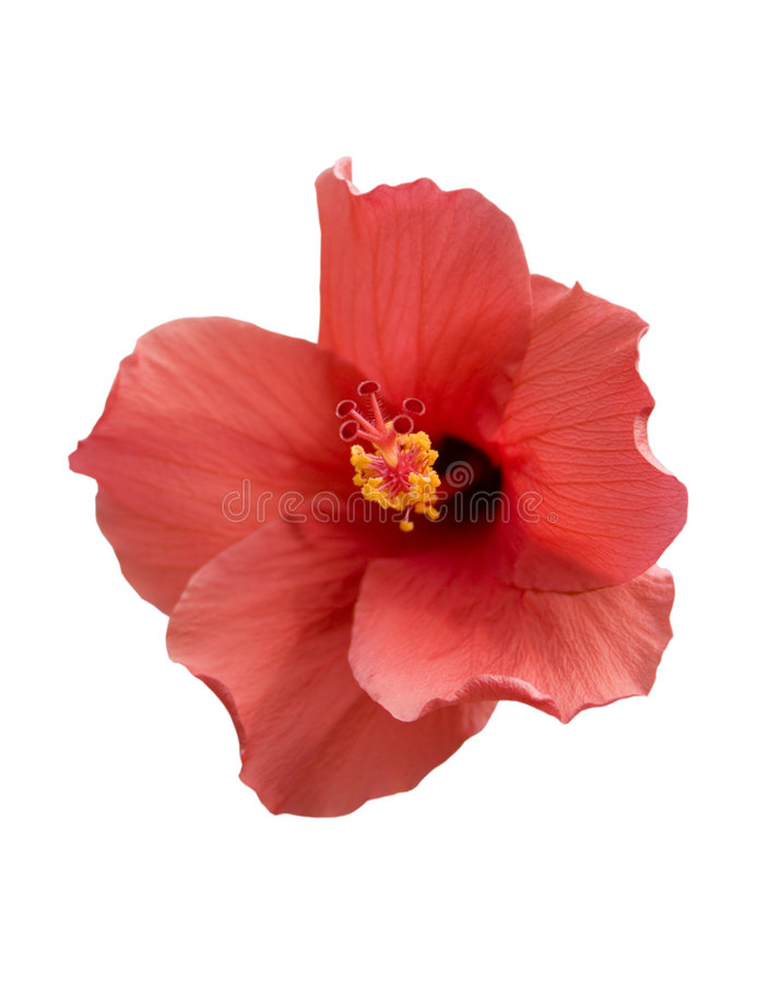 Hibiscus tropical fotografia de stock royalty free