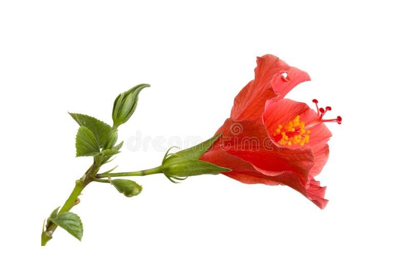 Hibiscus tropical imagens de stock