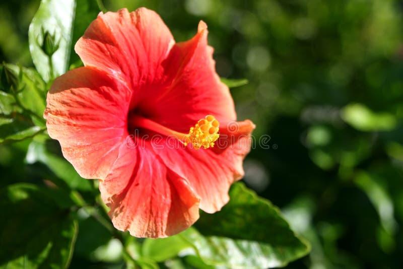 Hibiscus tropical alaranjado vermelho imagens de stock