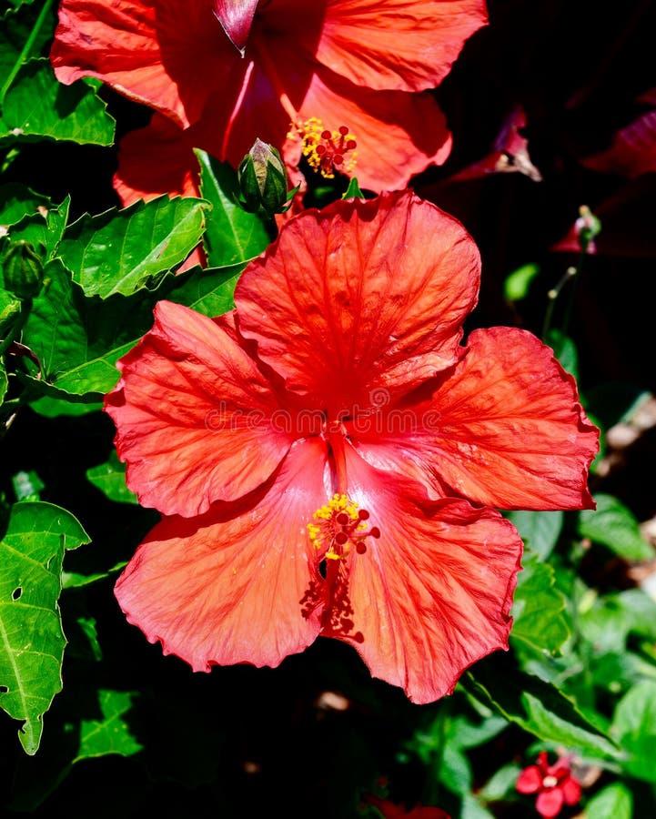 Hibiscus tropical vermelho #1 fotos de stock