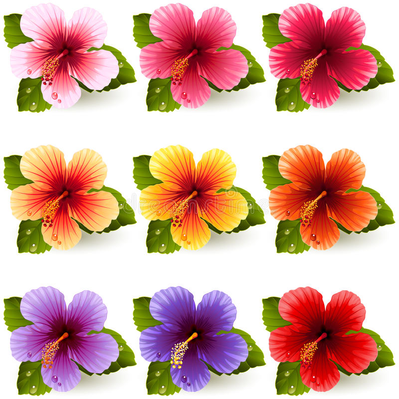 Hibiscus. Vector illustration - set of colorful hibiscus flowers royalty free illustration