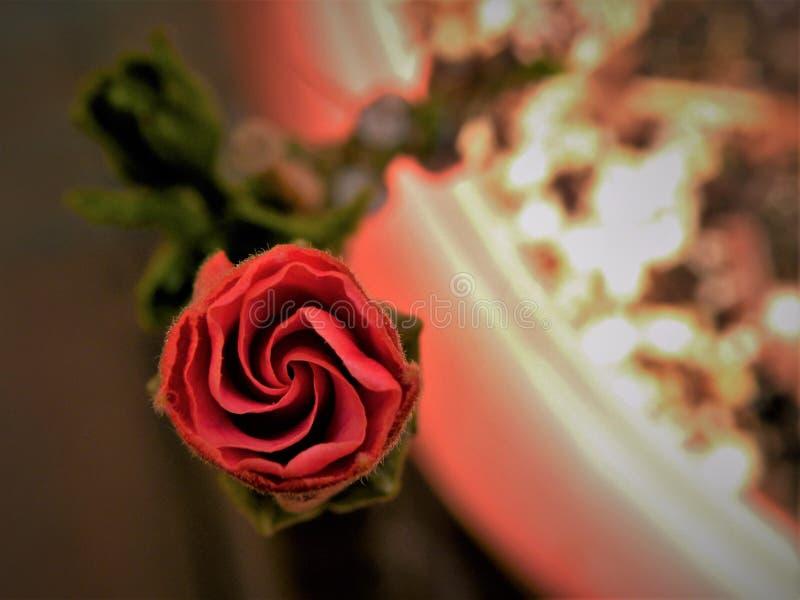 Hibiscus vermelho Bud Spiral fotos de stock royalty free