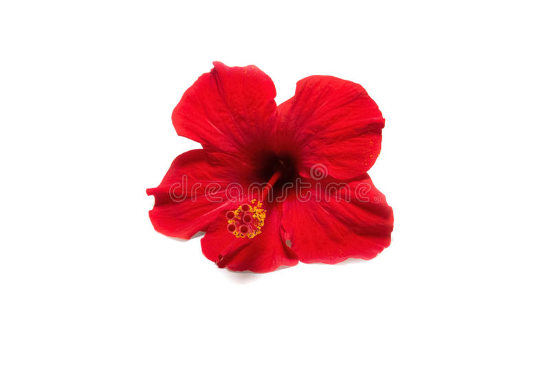 Hibiscus on white background stock photography