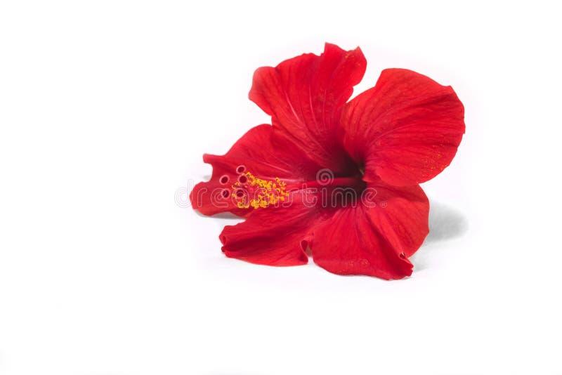Hibiscus on white background stock image