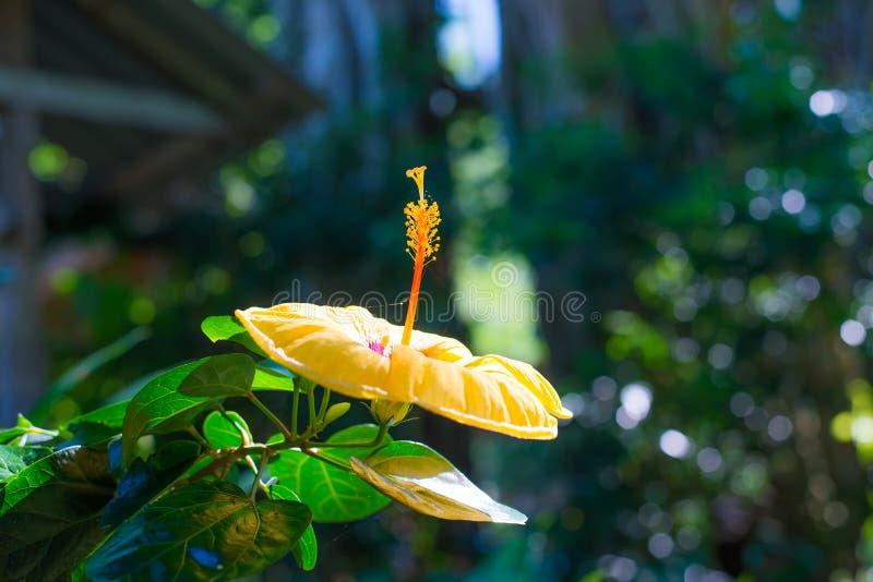Hibiscusbloem bij mooi in de aard royalty-vrije stock foto's