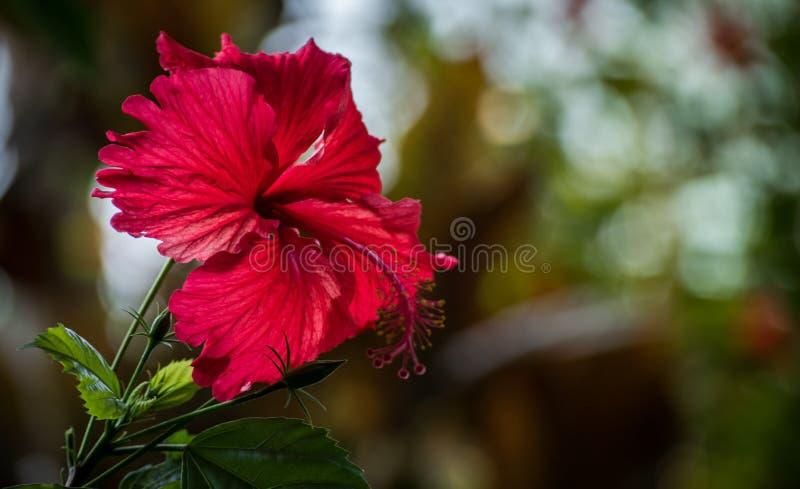 Hibiscusbloem met bokeheffect stock afbeelding