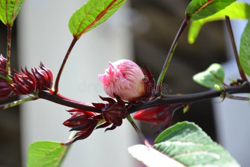 Hibiscusbloem of Roselle-bloem stock foto's