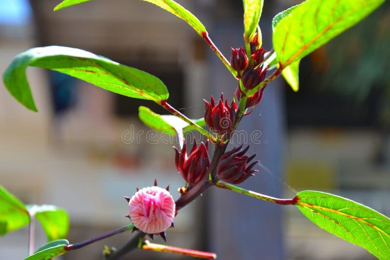 Hibiscusbloem of Roselle-bloem royalty-vrije stock fotografie