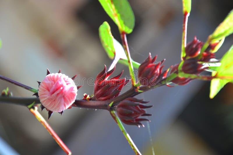 Hibiscusbloem of Roselle-bloem royalty-vrije stock foto's