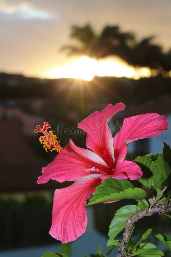 Hibiscusbloem van Nieuw-Caledonië royalty-vrije stock fotografie