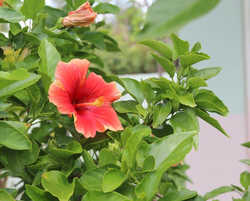 Hibiscusbloemen, een mooi natuurreservaat stock foto