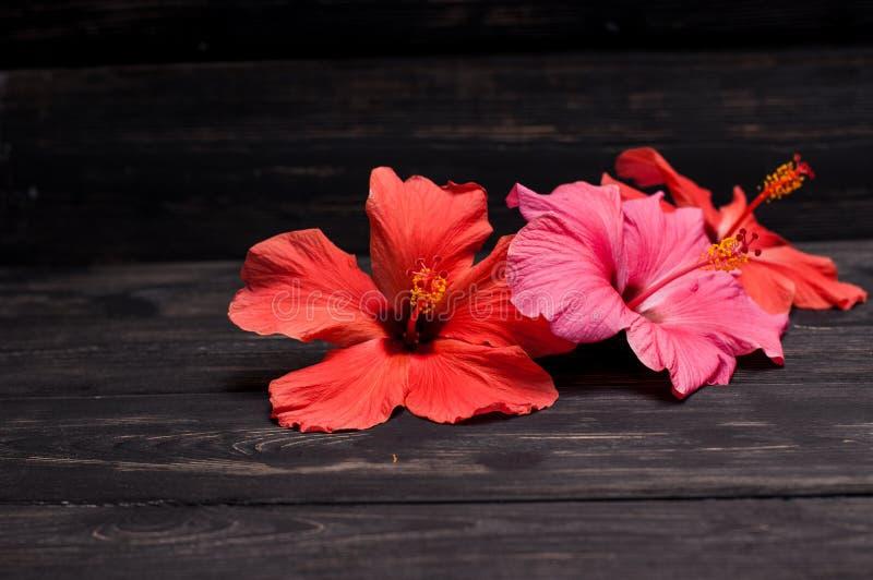 Hibiscusbloemen op zwarte raad royalty-vrije stock fotografie