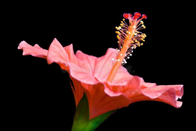 Hibiscusblume stockfoto