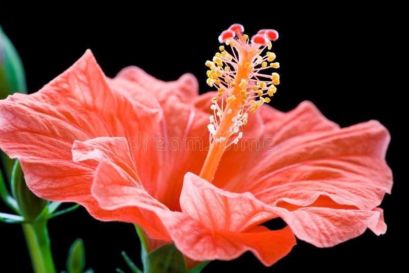 Hibiscusblume stockbild