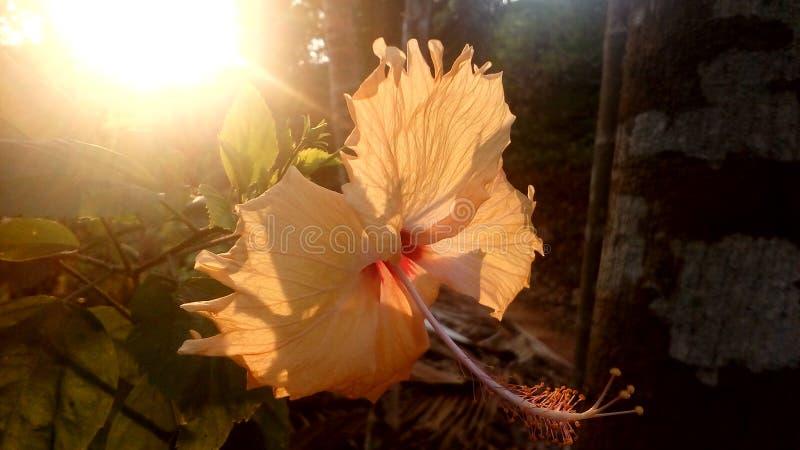 Hibiscushintergrundsonnenlicht lizenzfreie stockfotos