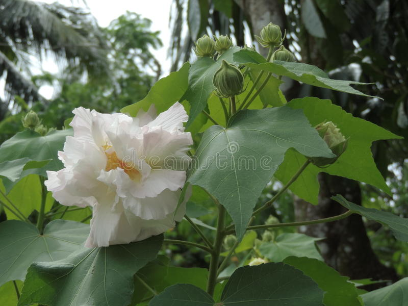 Hibiscusmutabilis of Katoenen rosemallow bloem stock afbeeldingen