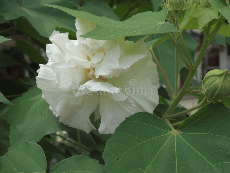 Hibiscusmutabilis of Katoenen rosemallow bloem stock foto's