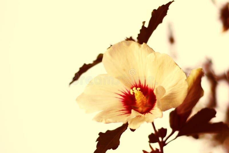 hibiskus zdjęcie stock