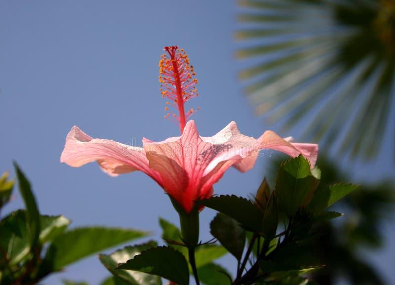 hibiskus zdjęcie royalty free