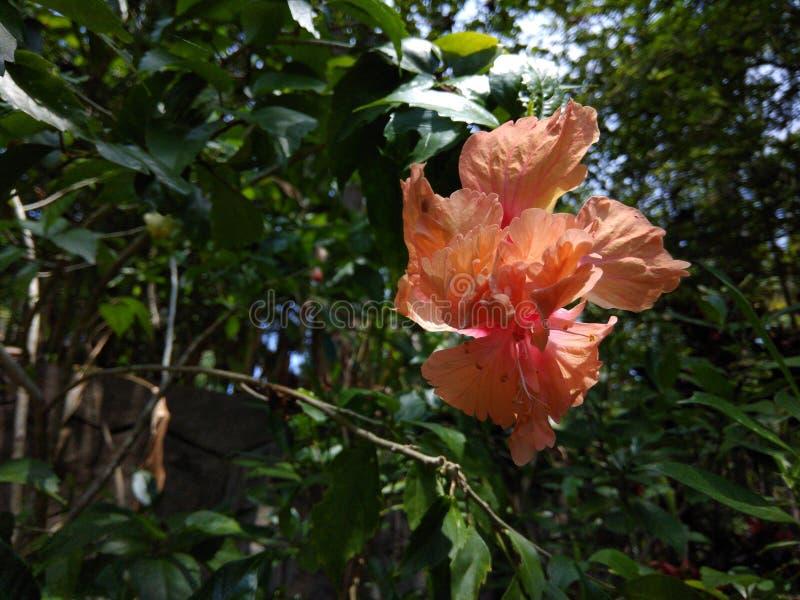 hibiskus arkivbild