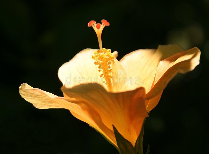 Hibiskus-bloesem stock afbeelding