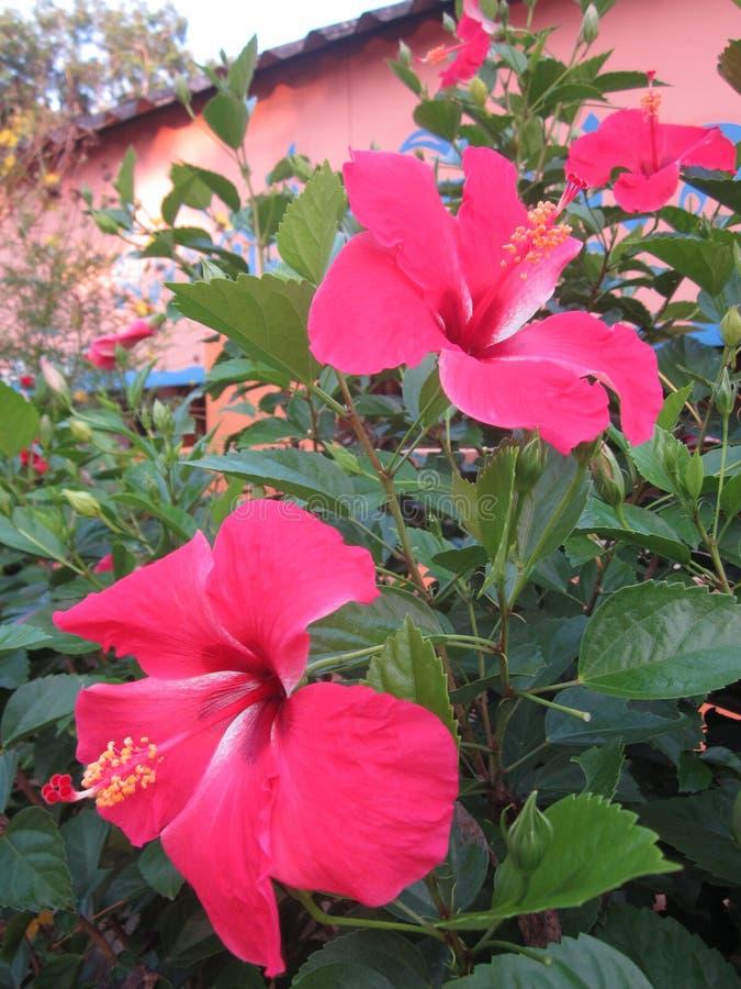 Hibiskus eller rosa malvablomma royaltyfria bilder