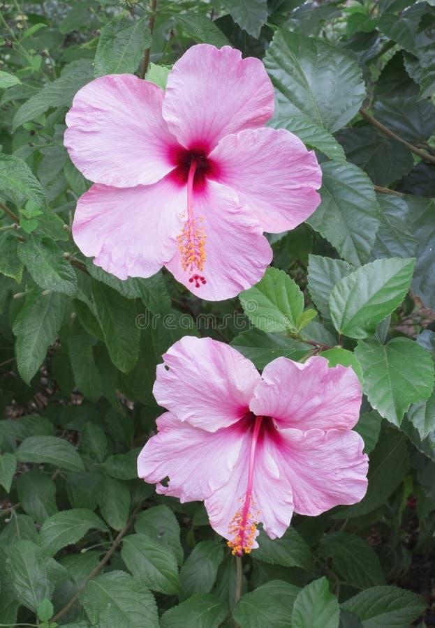 Hibiskus för två rosa färger royaltyfria foton