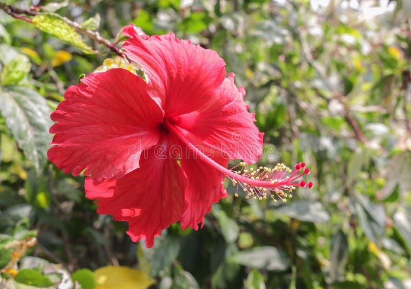 hibiskus Härlig röd hibiskusblomma i trädgården royaltyfria foton