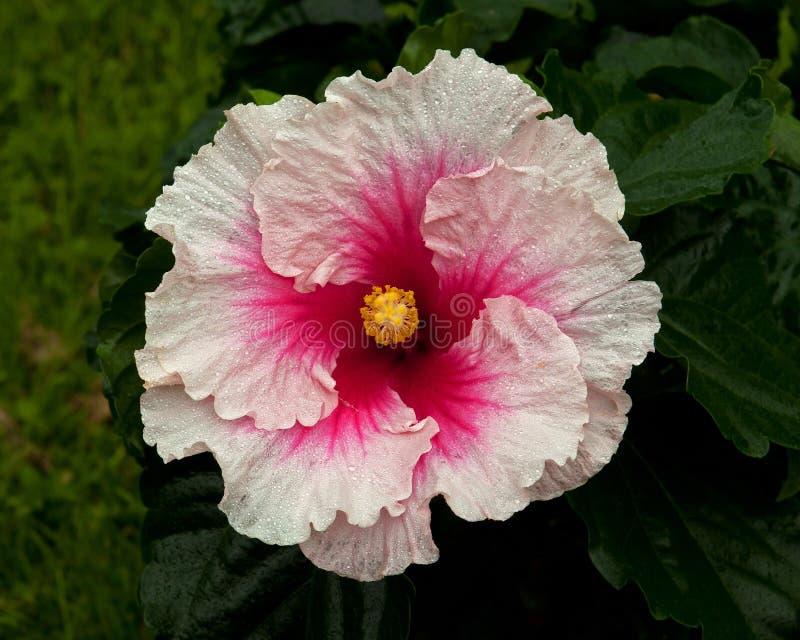 Hibiskus Hawaiirose Rosa Adonicus royaltyfria bilder