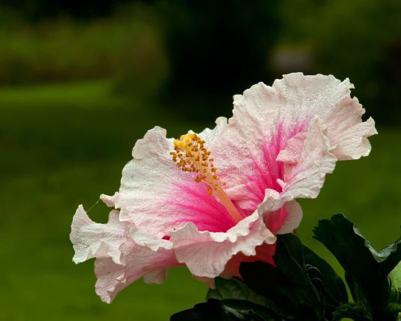 Hibiskus Hawaiirose Rosa Adonicus fotografering för bildbyråer