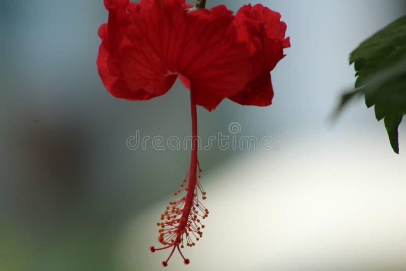 Hibiskus i Bali arkivfoto