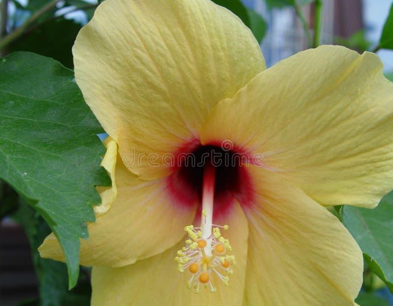 Hibiskus/ketmie fleurit le jaune 2 photo stock