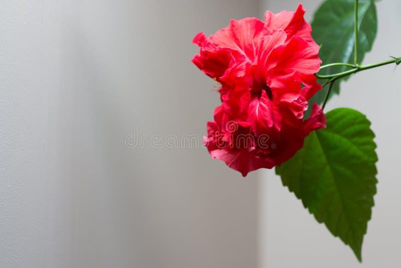 Hibiskus rosa-sinensis royaltyfri bild