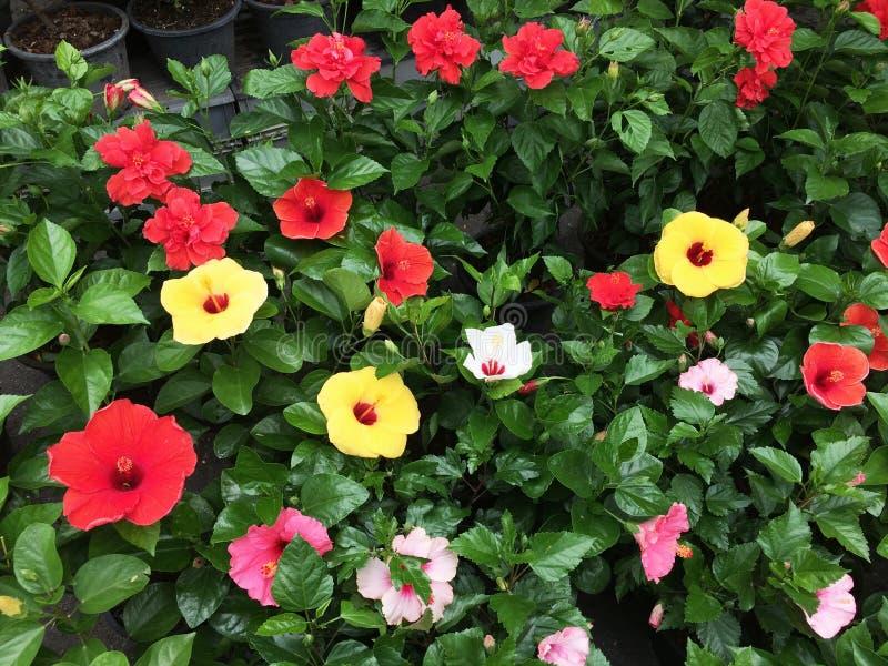 Hibiskus: Variationen av stora härliga färgrika blommor royaltyfri bild
