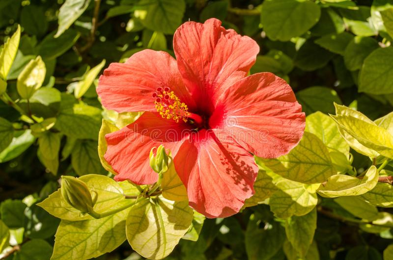 Hibiskusblomma i Spanien arkivfoton