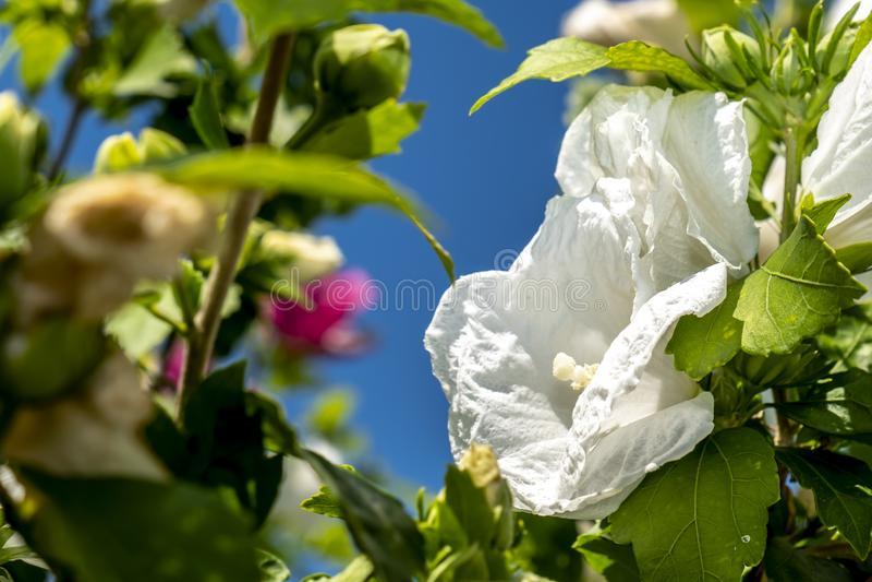 Hibiskusen för snöflingan för den hibiskusrosa sinensisen, skoblomman, kines steg, den Rosa malvan arkivfoto