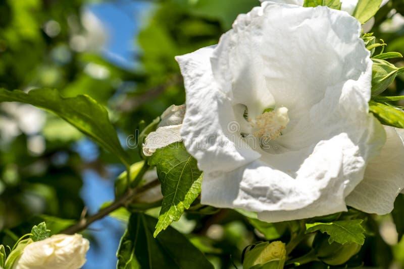 Hibiskusen för snöflingan för den hibiskusrosa sinensisen, skoblomman, kines steg, den Rosa malvan royaltyfri bild
