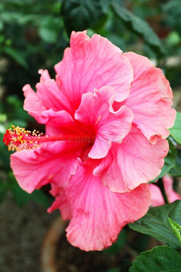 hibiskuspink royaltyfri fotografi