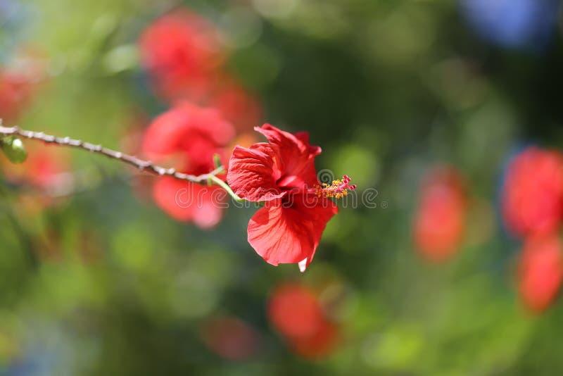 _ Hibiskusrosa-sinensis växt royaltyfria foton