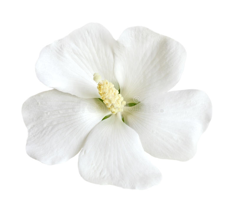 hibiskuswhite arkivfoton