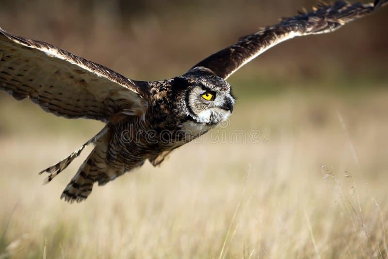 Hibou à cornes grand en vol image libre de droits