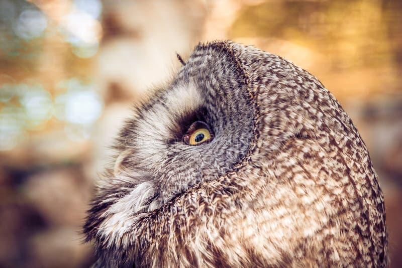 Hibou à cornes grand photographie stock