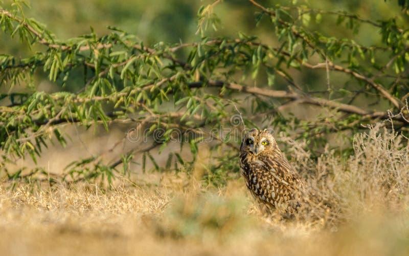 Hibou à oreilles courtes image libre de droits
