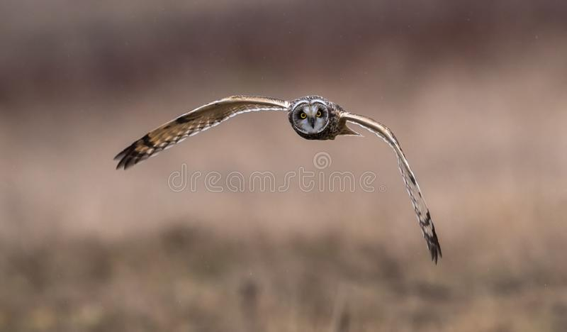 Hibou à oreilles courtes en vol photos stock