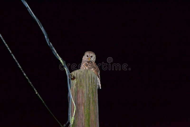Hibou barré se reposant sur la ligne électrique photo libre de droits